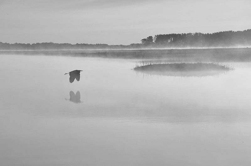 Dorothy Monnelly - Great Blue Heron, Sunrise #1 - 2008 - Digital Photography - 24x30 - $1200 - Courtesy of Panopticon